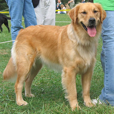 http://elcpartnersinenglish.pbworks.com/f/golden_retriever_4.jpg