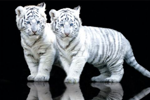Now tigers are andangered species and